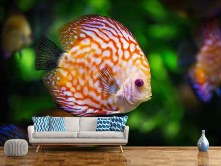Photo Wallpaper The discus fish