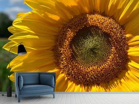 Photo Wallpaper Helianthus annuus