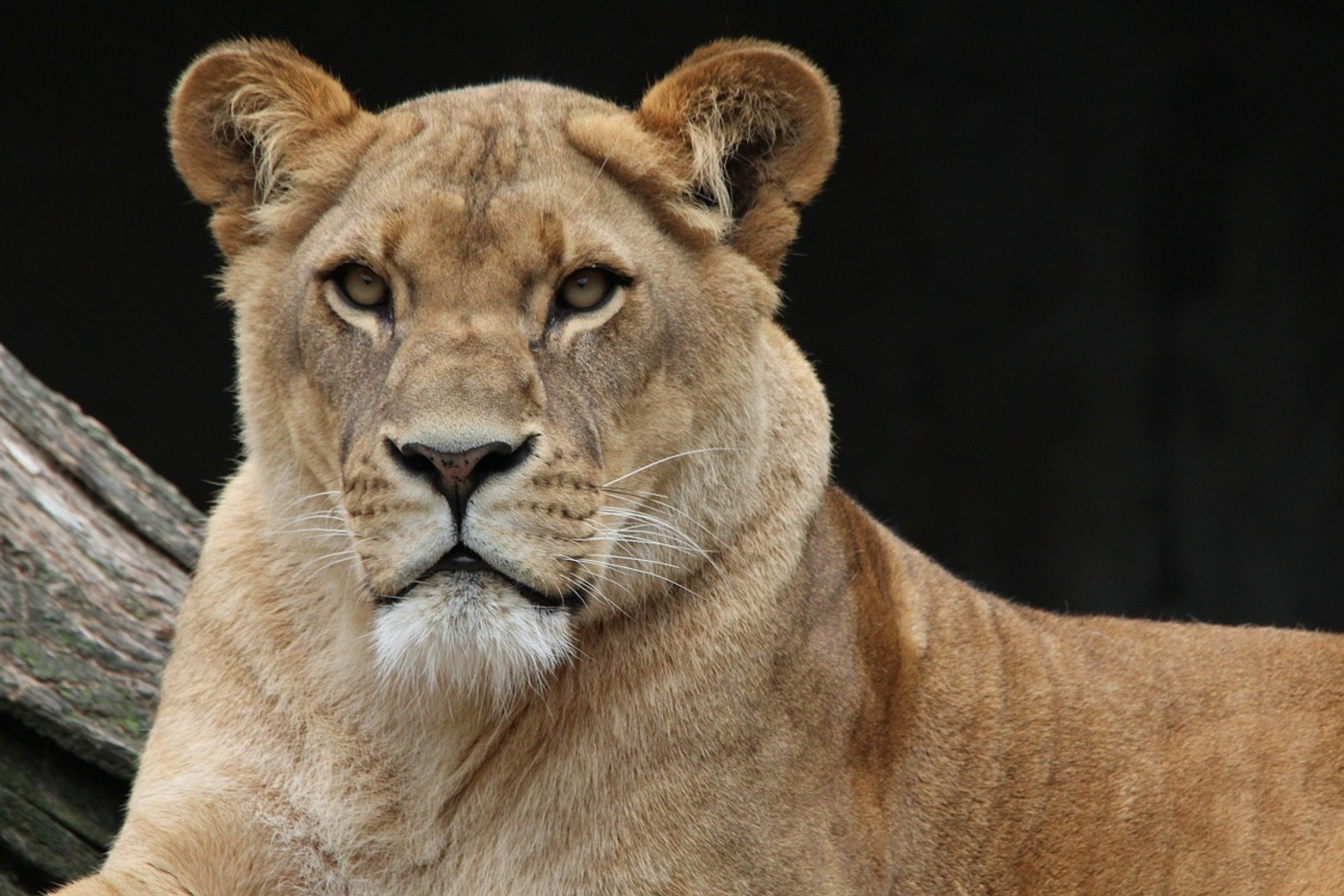 Photo Wallpaper Proud lioness