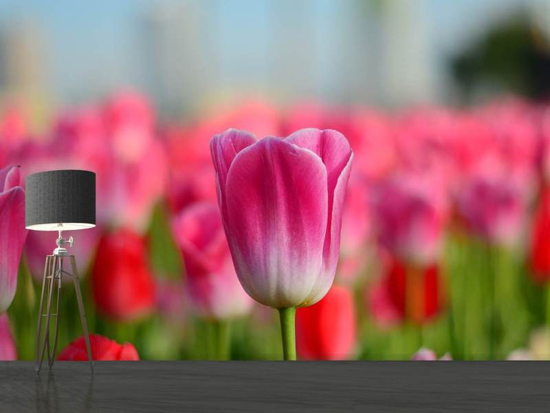 Photo Wallpaper Tulip field in pink-red