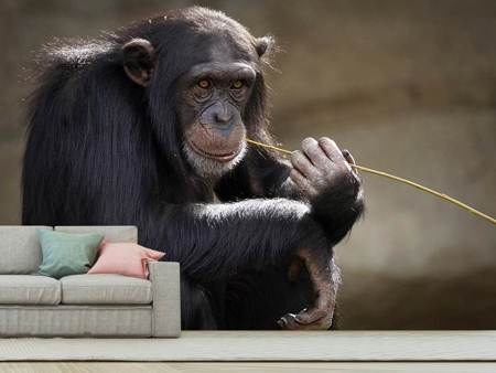 Photo Wallpaper Sweet chimpanzee