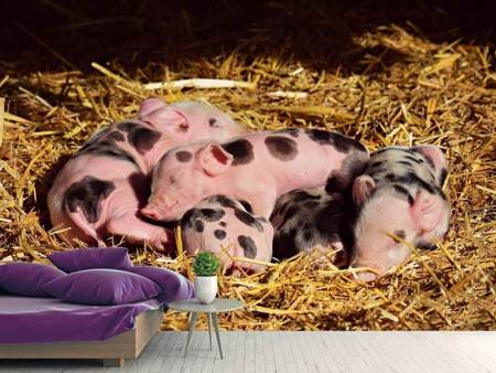 Photo Wallpaper Many piglets