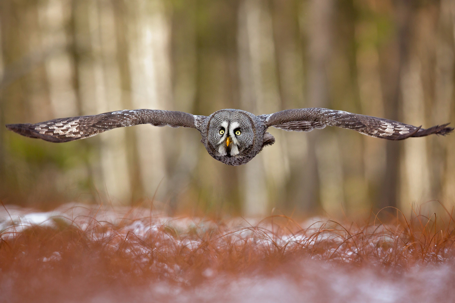 Fototapete Great Grey Owl